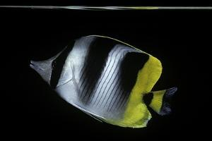 Chaetodon Ulietensis (Pacific Double-Saddle Butterflyfish) by Paul Starosta