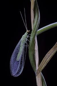 Chrysopa Carnea (Green Lacewing) by Paul Starosta