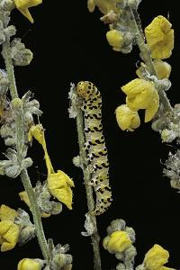 Cucullia Verbasci (Mullein Moth) - Caterpillar Feeding on Mullein by Paul Starosta