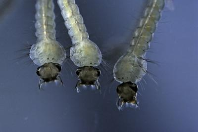 Culex Pipiens (Common House Mosquito) - Larvae by Paul Starosta