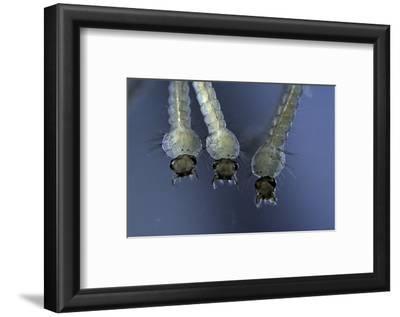 Culex Pipiens (Common House Mosquito) - Larvae