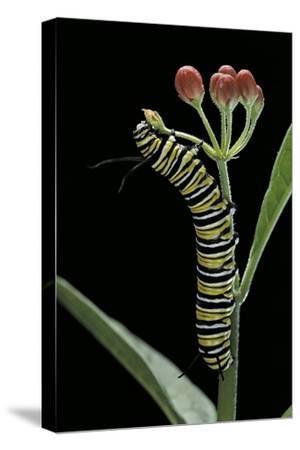 Danaus Plexippus (Monarch Butterfly) - Caterpillar Feeding on Milkweed Flower