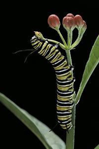 Danaus Plexippus (Monarch Butterfly) - Caterpillar Feeding on Milkweed Flower by Paul Starosta
