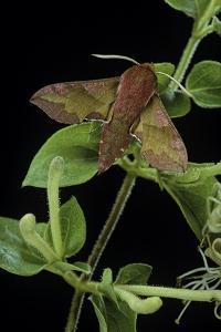 Deilephila Porcellus (Small Elephant Hawk Moth) by Paul Starosta
