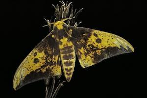 Eacles Imperialis (Imperial Moth) by Paul Starosta
