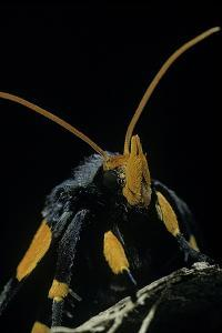 Egybolis Vaillantina (African Peach Moth) - Portrait by Paul Starosta