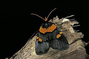 Egybolis Vaillantina (African Peach Moth) by Paul Starosta