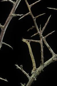 Ennomos Sp. (Thorn Moth) - Caterpillar or Inchworm Camouflaged on Twigs by Paul Starosta