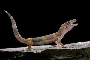 Eublepharis Macularius F. Albino (Leopard Gecko) by Paul Starosta