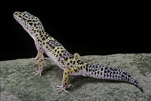Eublepharis Macularius (Leopard Gecko) by Paul Starosta