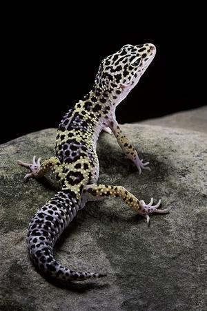 Eublepharis Macularius (Leopard Gecko)