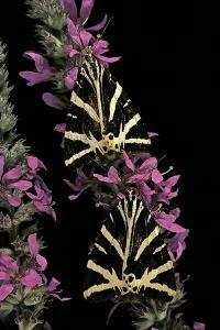 Euplagia Quadripunctaria (Jersey Tiger Moth) by Paul Starosta