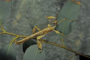 Extatosoma Tiaratum (Giant Prickly Stick Insect) - Male by Paul Starosta