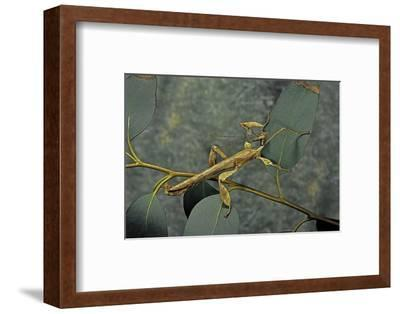 Extatosoma Tiaratum (Giant Prickly Stick Insect) - Male