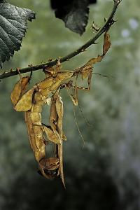 Extatosoma Tiaratum (Giant Prickly Stick Insect) - Mating by Paul Starosta