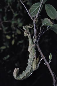 Extatosoma Tiaratum (Giant Prickly Stick Insect) by Paul Starosta