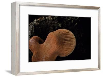 Fistulina Hepatica (Beefsteak Fungus, Beefsteak Polypore, Ox Tongue)