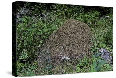 Formica Rufa (Red Wood Ant) - Dome-Shaped Nest