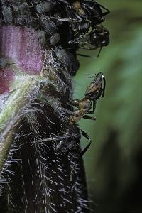 Formica Rufa (Red Wood Ant) - with Aphids by Paul Starosta