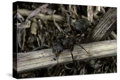 Formica Rufa (Red Wood Ant)