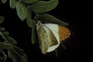Hebomoia Glaucippe (Great Orange Tip) by Paul Starosta