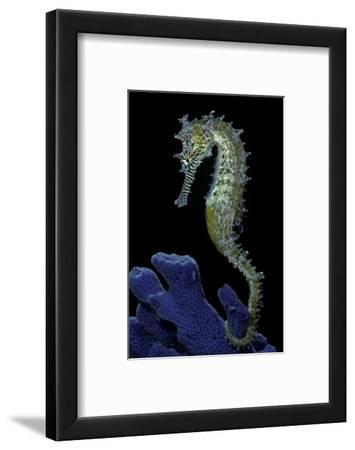 Hippocampus Kuda (Common Seahorse, Estuary Seahorse, Yellow Seahorse, Spotted Seahorse)