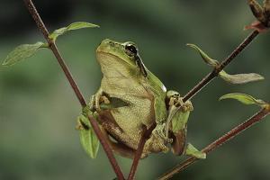 Hyla Meridionalis (Mediterranean Tree Frog) by Paul Starosta