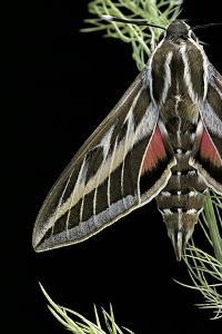 Hyles Lineata (White-Lined Sphinx, Hummingbird Moth) by Paul Starosta