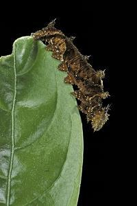 Hypna Clytemnestra (Jazzy Leafwing, Marbled Leafwing) - Caterpillar by Paul Starosta