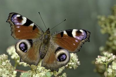 Inachis Io (Peacock Butterfly, European Peacock)