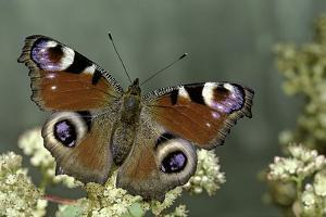 Inachis Io (Peacock Butterfly, European Peacock) by Paul Starosta