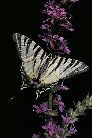 Iphiclides Podalirius (Scarce Swallowtail, Pear-Tree Swallowtail)