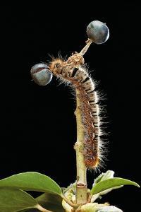 Lasiocampa Quercus (Oak Eggar, Oak Moth) - Caterpillar by Paul Starosta