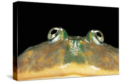 Lepidobatrachus Laevis (Budgett's Frog, Escuerzo De Agua) by Paul Starosta