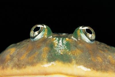 Lepidobatrachus Laevis (Budgett's Frog, Escuerzo De Agua)
