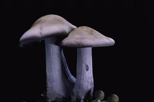 Lepista Nuda (Wood Blewit, Blue Stalk Mushroom) by Paul Starosta
