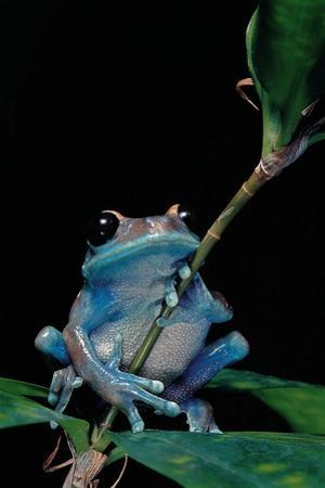 Leptopelis Uluguruensis (Uluguru Forest Treefrog) by Paul Starosta