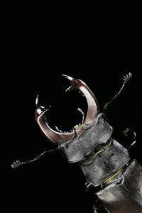 Lucanus Cervus (Stag Beetle) - Male Portrait by Paul Starosta
