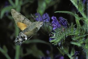 Macroglossum Stellatarum (Hummingbird Hawk-Moth) - Flying and Feeding on Flower Nectar by Paul Starosta
