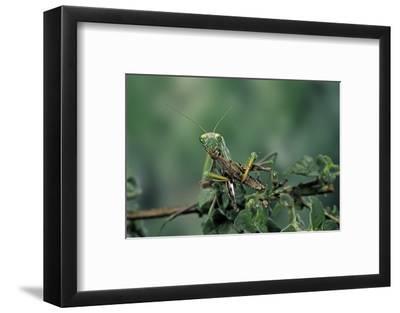 Mantis Religiosa (Praying Mantis) - Feeding on a Grasshopper