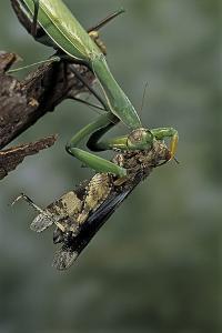 Mantis Religiosa (Praying Mantis) - Feeding on a Grasshopper by Paul Starosta