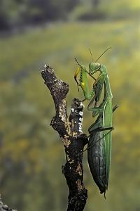 Mantis Religiosa (Praying Mantis) - Female Ready to Lay by Paul Starosta