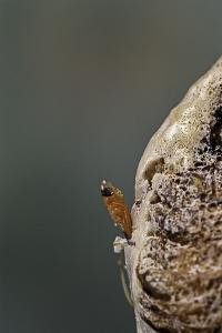 Mantis Religiosa (Praying Mantis) - Hatching by Paul Starosta