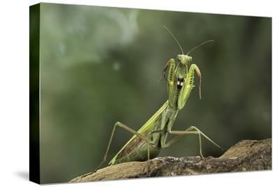 Mantis Religiosa (Praying Mantis) - in Defensive Posture, Threat Display