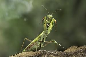 Mantis Religiosa (Praying Mantis) - in Defensive Posture, Threat Display by Paul Starosta