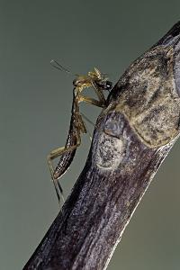 Mantis Religiosa (Praying Mantis) - Larva Eating on a Fly by Paul Starosta