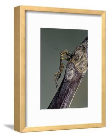 Mantis Religiosa (Praying Mantis) - Larva Eating on a Fly