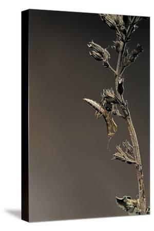 Mantis Religiosa (Praying Mantis) - Larva