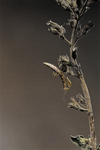 Mantis Religiosa (Praying Mantis) - Larva by Paul Starosta
