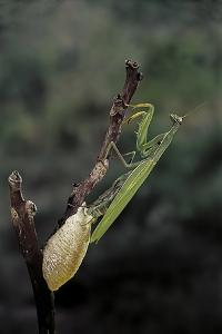 Mantis Religiosa (Praying Mantis) - Laying by Paul Starosta